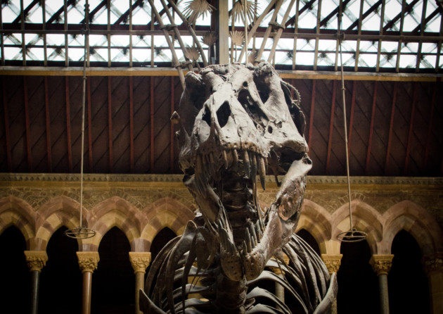 T-rex at Museum of Natural History, Oxford