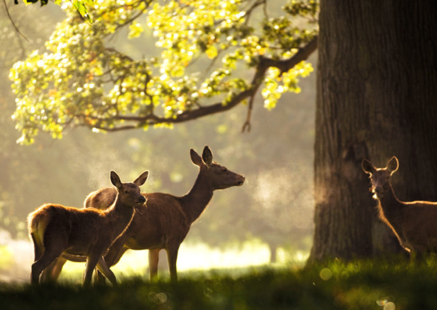 Red deer at Fountains Abbey, North Yorkshire. ©NTPL/Paul Harris