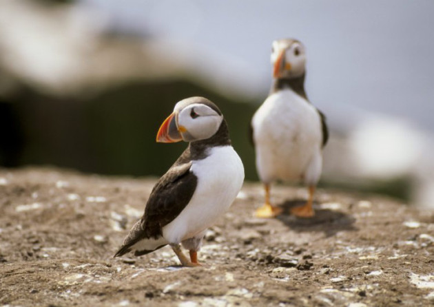 Puffins on Staple Island, Inner Farne. ©National Trust Images/Joe Cornish