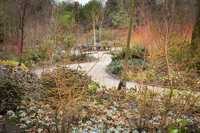 "The Winter Garden at Dunham Massey, Cheshire. Planting includes Cornus sanguinea (""Midwinter Fire""). Credit: National Trust Images/ Jonathan Buckley"