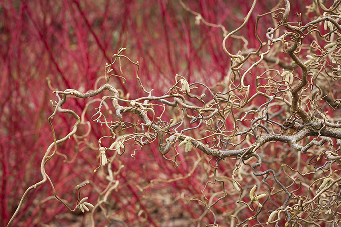 """Contorta"" in Dunham Massey's Winter Garden. Credit: National Trust Images/ Jonathan Buckley"