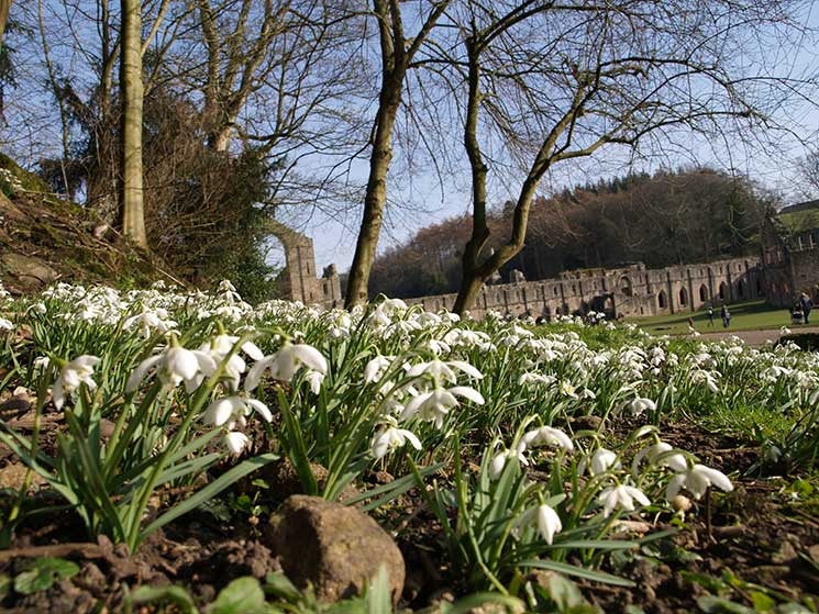 Fountains-Abbey-snowdrops4-credit-National-Trust