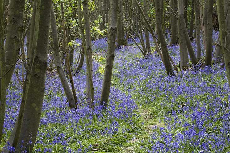 Sissnghurst-Bluebells-©National-Trust-ImagesJonathan-Buckle.jpg