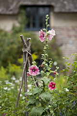 Hollyhocks growing in the garden at Hardy's Cottage