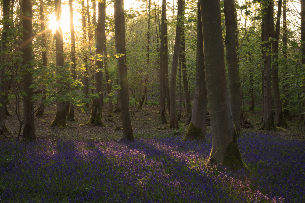 Blubells cover the ground in a wood on the Blickling Estate, Norfolk. Credit: National Trust