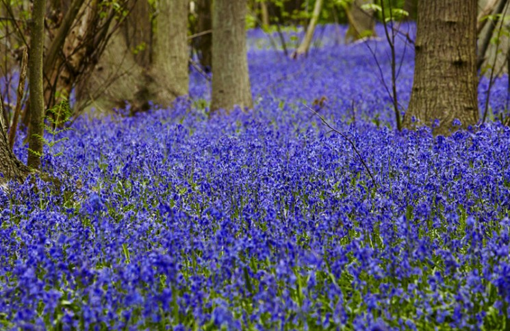 Bluebells at Blakes Wood, Essex, in spring.