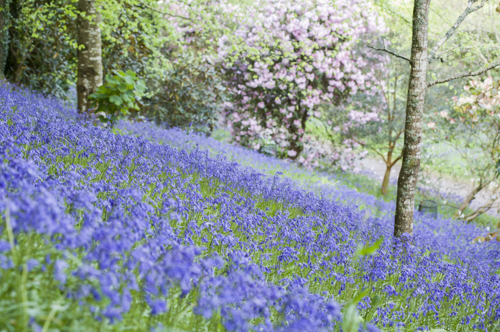 A sloping bank covered with bluebells at Glendurgan Garden, Cornwall. National Trust