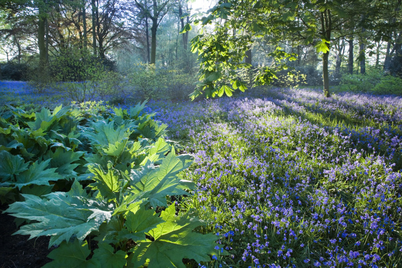 Backlit trees and bluebells in the garden at Dunham Massey, Cheshire. Credit: National Trust Images/Andrew Butler