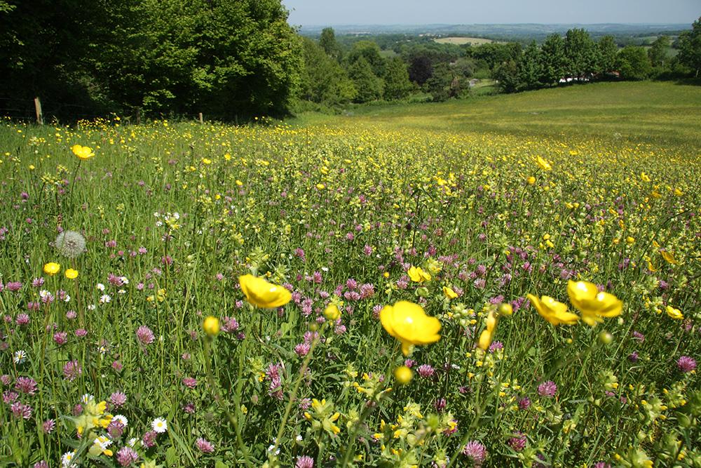Hedgerow in Dorset
