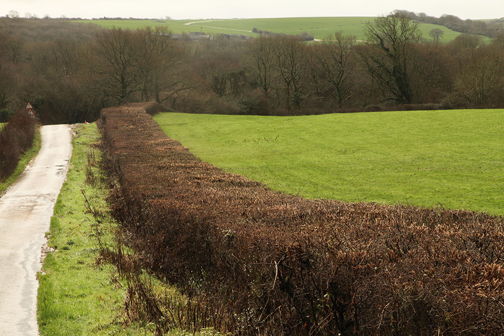 Trimmed hedgerow