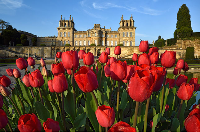 Blenheim Palace tulips england britain