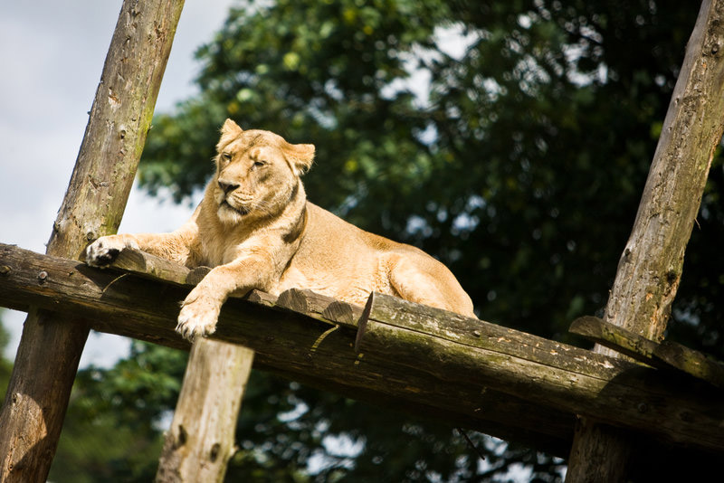 A lion at Chester Zoo