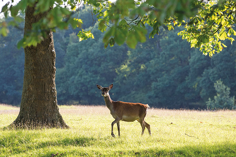 A deer in Windsor Great Park