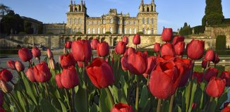 Red spring tulips in bloom in the gardens of Blenheim Palace, Oxfordshire, England. Credit: Visit Britain/Blenheim Palace